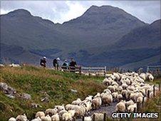 Sheep at Tyndrum, part of Scotland's West Highland Way