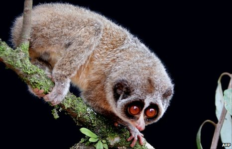 A Horton Plains slender loris pictured in Sri Lanka (handout image on 19 July 2010 from Zoological Society of London)