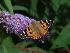 Painted Lady butterfly on a buddleia plant