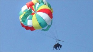 Donkey attached to a parachute flying over a beach in southern Russia (9 July 2010)