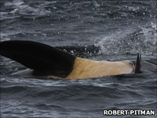 An orca rolls on its side with a gentoo penguin in its mouth (copyright R Pitman)
