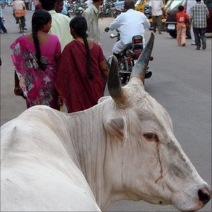 Cattle on Delhi streets