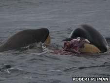 Juvenile orcas catch and kill a gentoo penguin (copyright R Pitman)