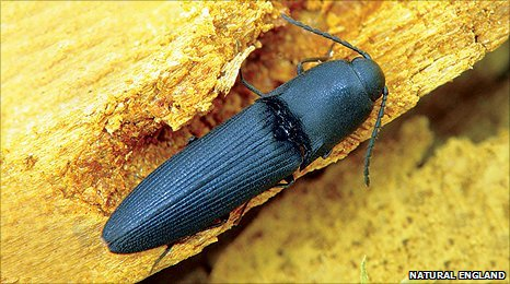 The Queen's executioner beetle