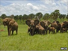 Elephants in Uganda (Image: WCS)