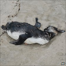 Dead penguin on Peruibe beach