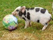 Pig and ball