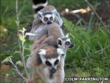 Ring-tailed lemurs at Durrell (Durrell/Colm Farrington)