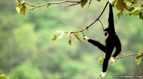 Gibbon (copyright Photolibrary.com)