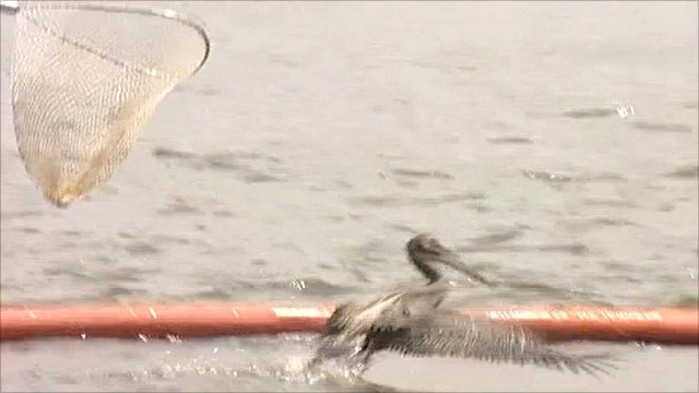 Pelican rescue