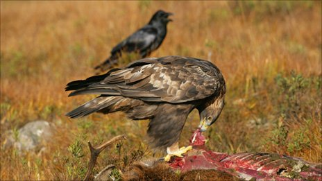 Eagle For Sale in Pakistan Modern Golden Eagle For Sale
