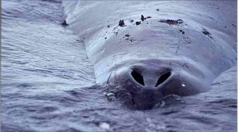 Bowhead whale breathing hole (copyright Ansgar Walk)