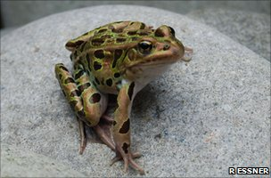 Lithobates pipiens frog (Image: Richard Essner) 