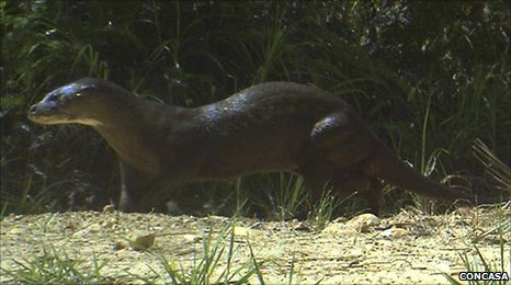 Hairy-nosed otter (Lutra sumatrana)