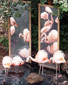 Flamingos and their reflection at Colchester Zoo