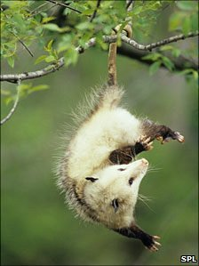Virginia opossum