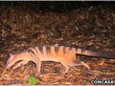 Banded civet caught by a camera trap