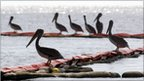 Pelicans on oil booms
