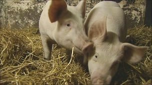 &#039;Pampered&#039; pigs at Newcastle University
