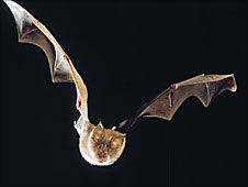Greater Horseshoe Bat. Picture Natural England