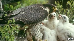 Peregrine falcon feeding chicks Photo: Chris Gomersall (Rspb-images.com)