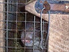 Grasscutter in a cage