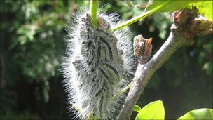 The caterpillar of the oak processionary moth