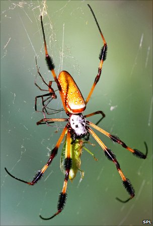 Golden silk spiders, male (small) and female (large), with prey