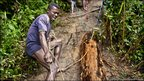 Workers drag rosewood logs out of the forest