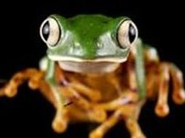 Species of frog found in Ecuador's Yasuni nature reserve