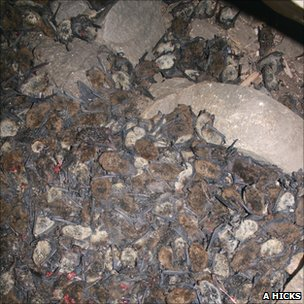 Bodies of dead bats, killed by white-nose syndrome (Image: Alan Hicks)