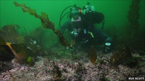 Maerl bed with diver (copyright Sue Scott)