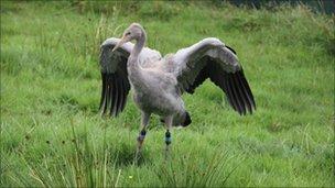 Crane at Slimbridge
