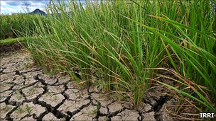 Rice in drought field
