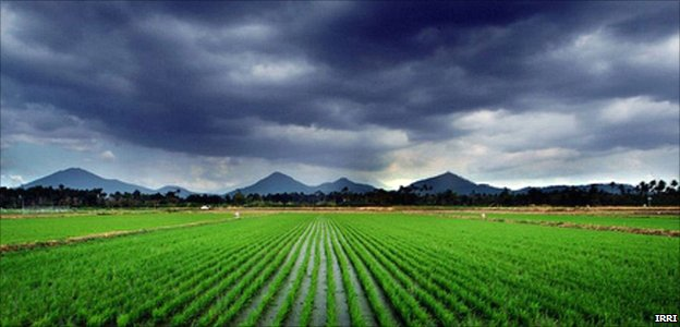 Rice fields and dark clouds