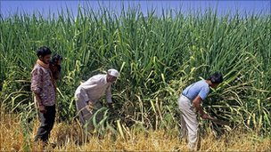 Sugar cane harvesting in India