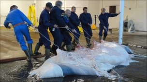 The carcass of a whale is dragged into a factory for processing