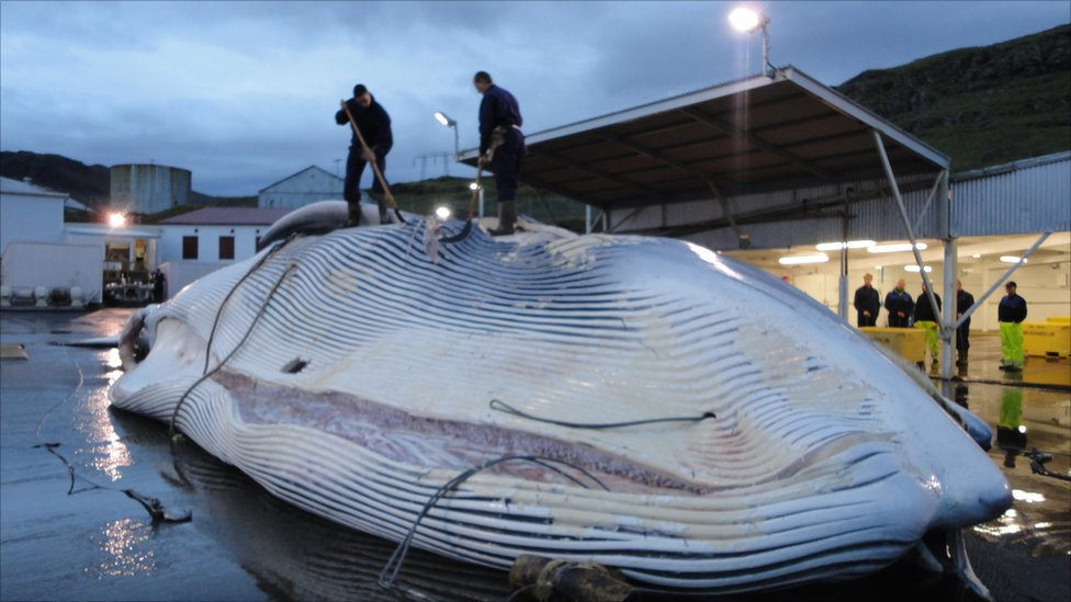 banning whaling Whaling has been banned by the international whaling commission since 1986.