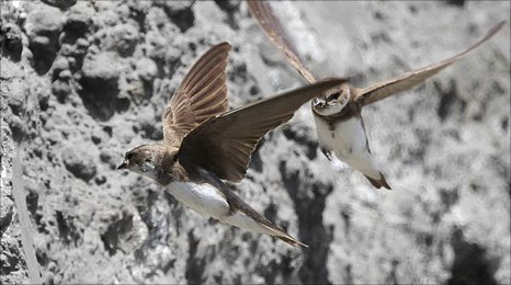 Sand martins fly into their nests made in coal ash at Ratcliffe on Soar Power Station in Nottinghamshire