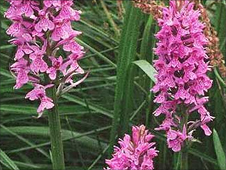 A common-spotted orchid