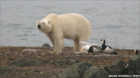 Polar bear and barnacle geese at Svalbard