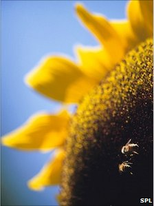 Bees pollinating a sunflower