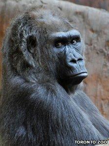 Samantha the 37 year old lowland gorilla