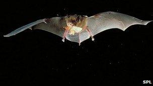 Bat in flight with moth