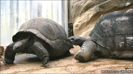 Biggie (r) meets one of his new mates, Stevie, at Bristol Zoo Gardens