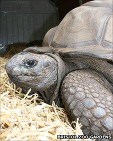 Hogarth the new male giant tortoise at Bristol Zoo Gardens