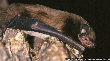 Leisler Bat