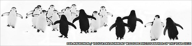 Chinstrap penguins (Image: Esa Malkonen/Veolia Environment Wildlife Photographer of the Year 2010)
