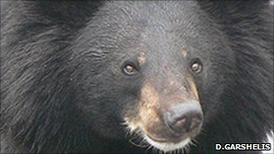 Asiatic Black Bear (Photo: David Garshelis)