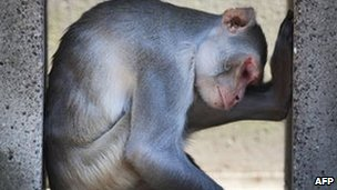 Rhesus monkey